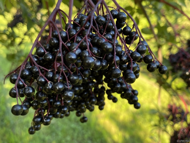 Elderberries VASCage study
